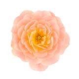 Rosa färger dubblerar rosa Royaltyfri Bild