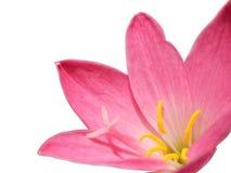 Rosa färger fäller ned royaltyfria bilder