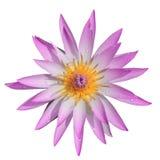Rosa färger för bästa sikt bevattnar lilly på vit bakgrund Royaltyfri Bild