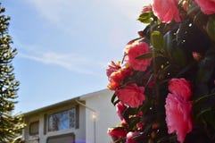 Rosa färger för blomma för Rosa 'sommardam som '- rosa är coloful med utrymme ett arkivfoton