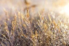 Rosa färger gräs att skina med dimmadroppar royaltyfria bilder