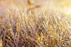 Rosa färger gräs att skina med dimmadroppar fotografering för bildbyråer