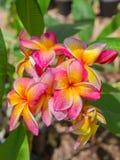 Rosa färger - gul hawaiansk plumeria Royaltyfri Fotografi