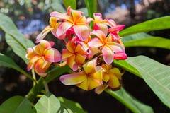 Rosa färger - gul hawaiansk plumeria Royaltyfri Foto