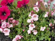 Rosa färger i blom Fotografering för Bildbyråer