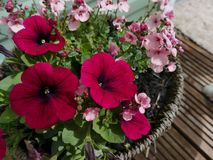 Rosa färger i blom Arkivfoton