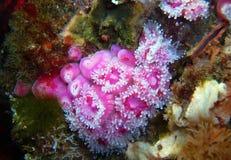 Rosa färger Klubba-tippade anemoner bredvid en vaggakammussla Royaltyfri Bild