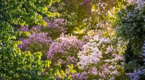 Rosa färger lilor, vulgaris familjOleaceae för Syringa, slut upp, blom- textur, bakgrund Royaltyfria Foton