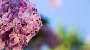 Rosa färger lilor, vulgaris familjOleaceae för Syringa, slut upp, blom- textur, bakgrund Royaltyfri Bild