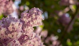 Rosa färger lilor, vulgaris familjOleaceae för Syringa, slut upp, blom- textur, bakgrund Arkivfoto