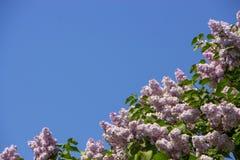 Rosa färger lilor, vulgaris familjOleaceae för Syringa, slut upp, blom- textur, bakgrund Royaltyfri Fotografi
