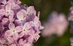 Rosa färger lilor, vulgaris familjOleaceae för Syringa, slut upp, blom- textur, bakgrund Arkivbilder