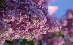 Rosa färger lilor, vulgaris familjOleaceae för Syringa, slut upp, blom- textur, bakgrund Fotografering för Bildbyråer