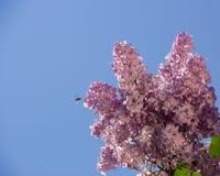 Rosa färger lilor, vulgaris familjOleaceae för Syringa, slut upp, blom- textur, bakgrund Arkivbild