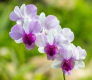 Rosa färger med purpurfärgade och vita orkidéblommor Fotografering för Bildbyråer