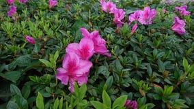 Rosa färger Mexicansk blomma Royaltyfri Foto