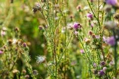 Rosa färger mjölkar tistelblommor i lös natur med biet som samlar pollen, den växt- boten för Silybummarianumen, tistel för St Ma royaltyfri fotografi