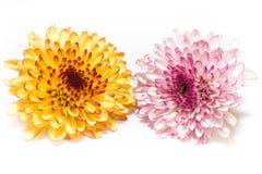 Rosa färger och guling av krysantemumet som isoleras på en vit bakgrund Fotografering för Bildbyråer
