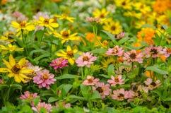 Rosa färger och guling för blommafält Royaltyfria Bilder