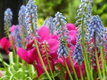 Rosa färger och lilor Royaltyfri Bild
