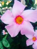 Rosa färger och orange blomma royaltyfria foton