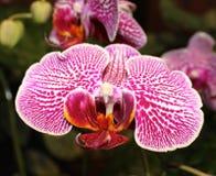 Rosa färger och orange prickig orkidéblomma Arkivfoto