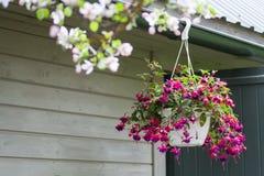 Rosa färger och purpurfärgade blomningar för blödande hjärta som hänger från en blomkruka arkivbild