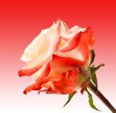 Rosa färger och terosen blommar på mjuk rosa bakgrund Härliga rosa huvud- och vattendroppar Arkivbild