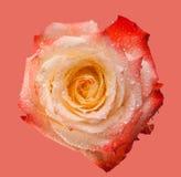 Rosa färger och terosen blommar på mjuk rosa bakgrund Härliga rosa huvud- och vattendroppar Royaltyfri Foto
