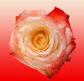 Rosa färger och terosen blommar på mjuk rosa bakgrund Härliga rosa huvud- och vattendroppar Arkivfoto