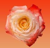 Rosa färger och terosen blommar på mjuk rosa bakgrund Härliga rosa huvud- och vattendroppar Royaltyfria Bilder