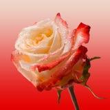 Rosa färger och terosen blommar på mjuk rosa bakgrund Härliga rosa huvud- och vattendroppar Arkivbilder