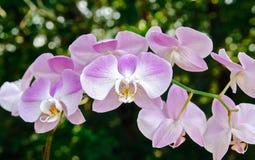 Rosa färger och vit för lavendel för Phalaenopsis för malorkidé Royaltyfri Bild
