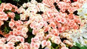 Rosa färger plattar till blommor Royaltyfria Foton