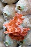 Rosa färger plocka svamp (Pleurotusdjamoren) i lantgård Arkivbilder
