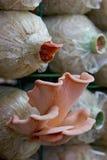 Rosa färger plocka svamp (Pleurotusdjamoren) i lantgård Royaltyfri Fotografi