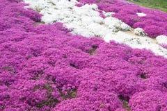 Rosa färger purpurfärgad flox, Arkivfoton