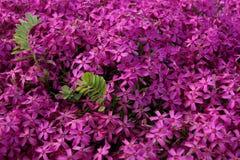 Rosa färger purpurfärgad flox Arkivfoton