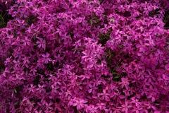 Rosa färger purpurfärgad flox, mattblommor Arkivbild