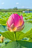 Rosa färger slår ut lotusblomma på dammet i panelljuset royaltyfri foto