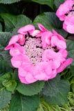 Rosa färger snör åt lockvanliga hortensian royaltyfria bilder