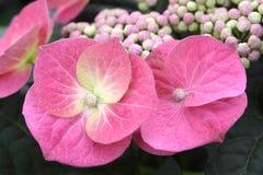 Rosa färger snör åt lockvanliga hortensian arkivbild