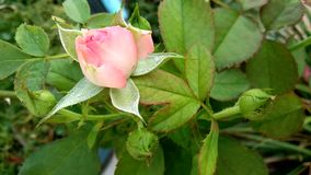 Rosa färger steg blommaknoppar lager videofilmer
