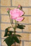 Rosa färger steg framme av en tegelstenvägg royaltyfri foto