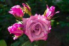 Rosa färger steg i trädgården efter regnet royaltyfri fotografi