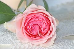 Rosa färger steg på en stucken servett arkivfoton
