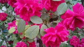 Rosa f?rger steg rosebush royaltyfria bilder
