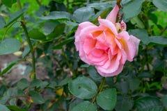 Rosa färger steg trädgårdrabatt royaltyfria foton