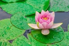 Rosa färger waterlily eller lotusblommablomma Arkivbild