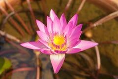 Rosa färger waterlily eller lotusblommablomma i blomkruka Arkivfoto